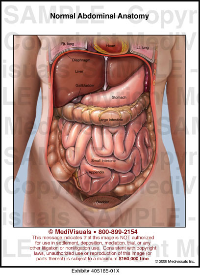 Normal Abdominal Anatomy Medical Illustration