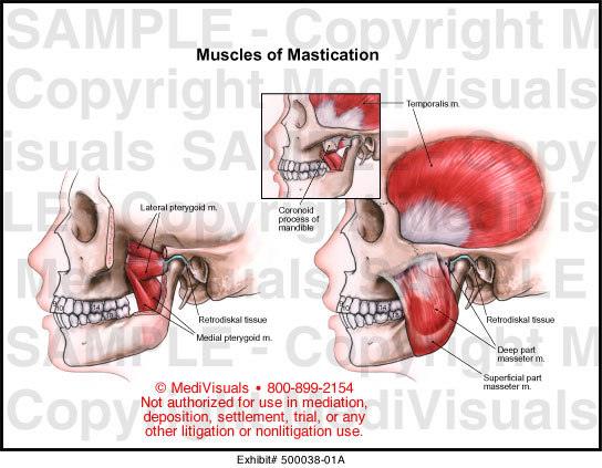 Muscles Of Mastication Medical Illustration