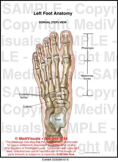 Anatomy of left foot