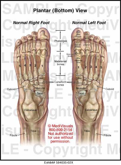 Medivisuals Plantar Bottom View Medical Illustration