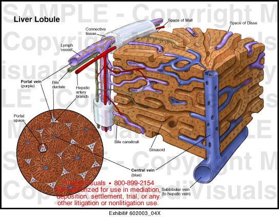 liver lobule medical illustration