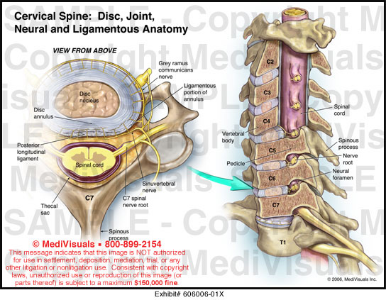 Spine joints anatomy