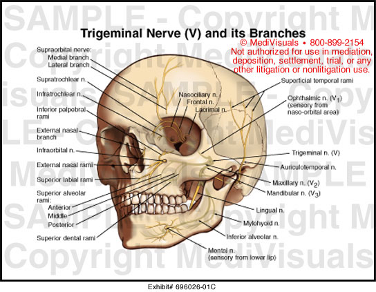 Trigeminal Nerve  V  And Its Brances Medical Illustration