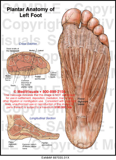 Ventral foot anatomy