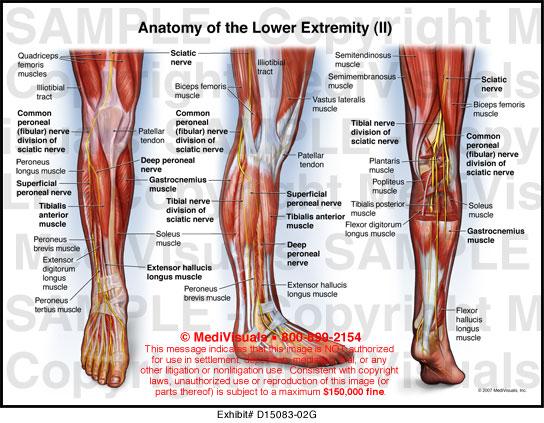 Back of leg anatomy