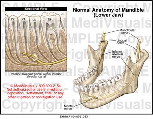 Normal Anatomy of Mandible (Lower Jaw) Medical Illustration