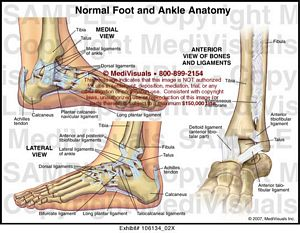 Normal Ankle and Foot Anatomy