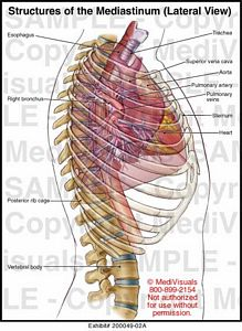 Structures of the Mediastinum Lateral View 200049 02A