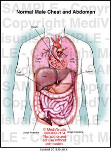 Medivisuals normal male chest and abdomen medical illustration normal male chest and abdomen 20112001x ccuart Image collections