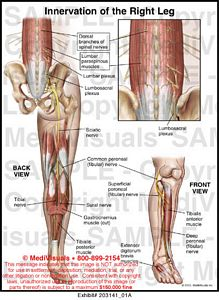 Innervation of the Right Leg Medical Exhibit Medivisuals