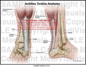 Achilles Tendon Anatomy Medical Illustration Medivisuals