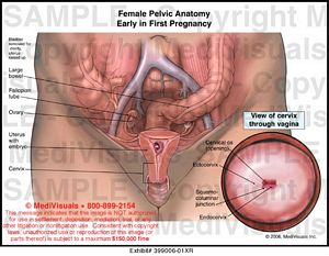 Female pelvic anatomy early in first pregnancy medical exhibit female pelvic anatomy early in first pregnancy 399006 01xr ccuart Choice Image