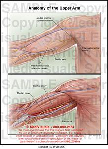 Anatomy of the Upper Arm Medical Illustration Medivisuals