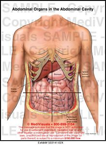 Abdominal Organs in the Abdominal Cavity Medical Illustration ...