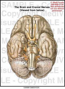 Brain and Cranial Nerves Diagram