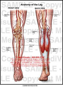 Medivisuals Anatomy of the Leg Medical Illustration