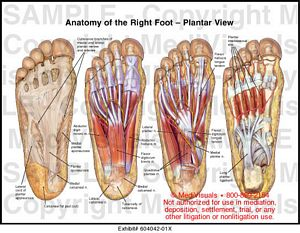 Anatomy of the Right Foot Plantar View Medical Illustration