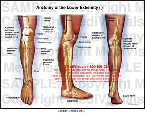 Anatomy of the Lower Extremity (I) MediVisuals Medical Illustration