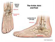 Normal Ankle Joint and Foot