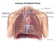textbook-thorax-anatomy