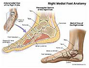 Cross Section of Right Foot Anatomy