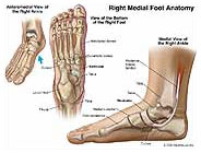 Right Medial Foot Anatomy