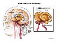 arterial-pathways-brain
