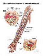 Arm Anatomy Medical Illustration Exhibits
