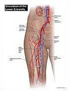Circulation of Lower Extremity