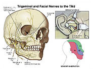 Trigeminal and Facial Nerves to the TMJ Region