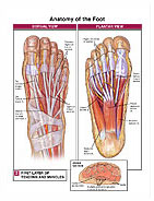 foot-anatomy