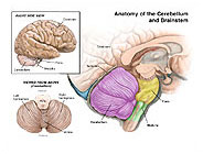 Anatomy-Cerebellum-Brainstem