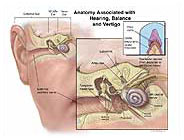 anatomy-associated-hearing-balance-vertigo