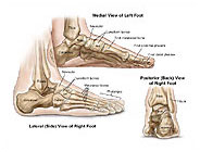 Left Foot Skeletal Anatomy