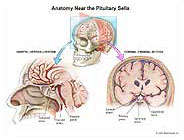 Anatomy-Near-Pituitary-Sella