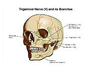 Trigeminal Nerve (V) and Branches Chart