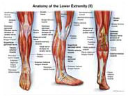 right-leg-anatomy